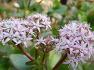 대수수목원 - 선인장온실에 한겨울 돈이되는 나무 꽃이 천연향기를 듬뿍 내뿜는 화월(크라슐라), 꽃, 관리방법.