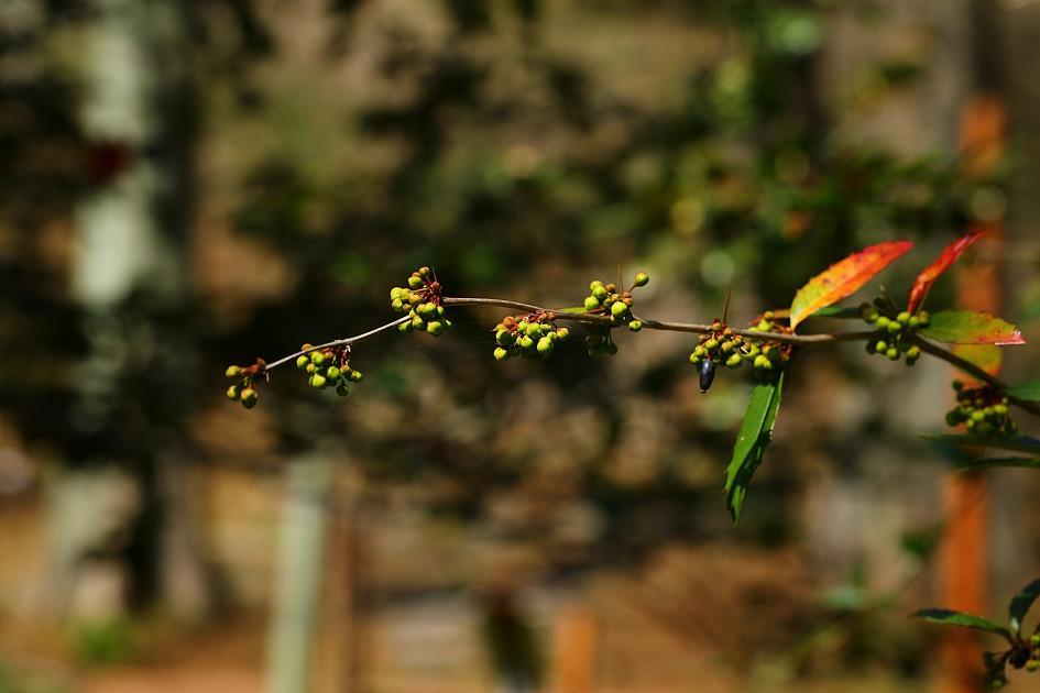서양매자나무 (20200315)
